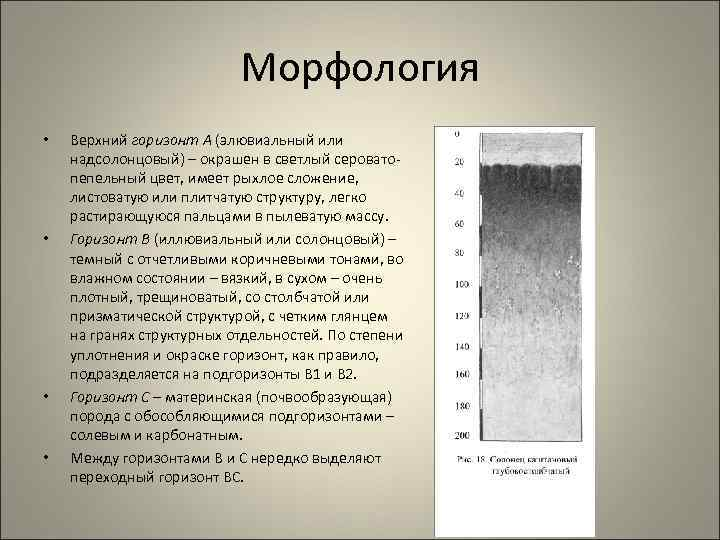 Морфология • • Верхний горизонт А (элювиальный или надсолонцовый) – окрашен в светлый серовато