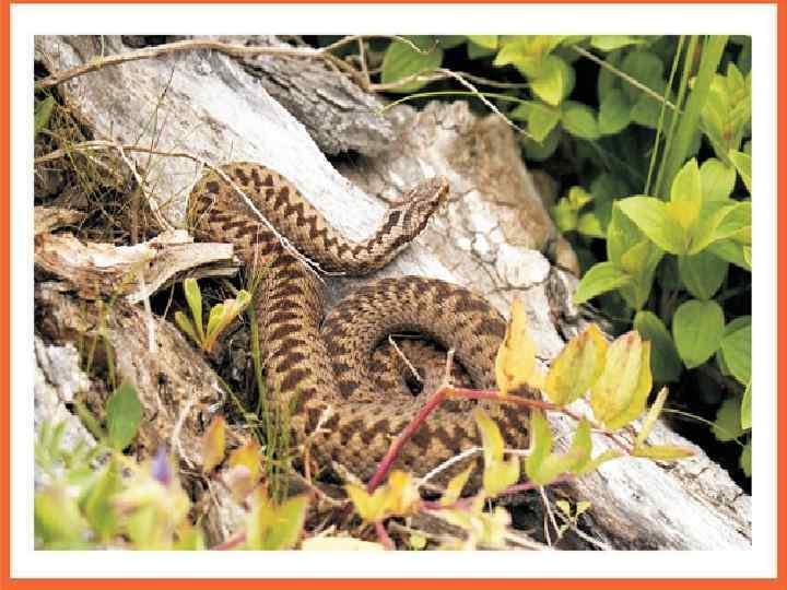 фото змей обитающих на дальнем востоке показала