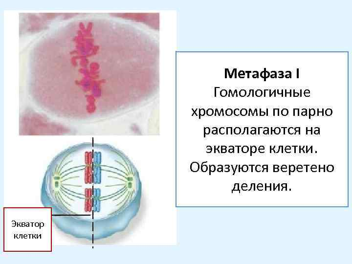 Метафаза I Гомологичные хромосомы по парно располагаются на экваторе клетки. Образуются веретено деления. Экватор