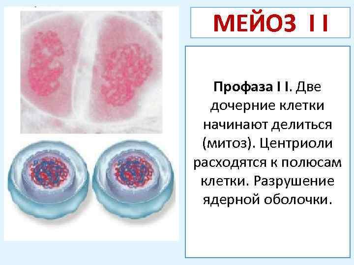 МЕЙОЗ I I Профаза I I. Две дочерние клетки начинают делиться (митоз). Центриоли расходятся
