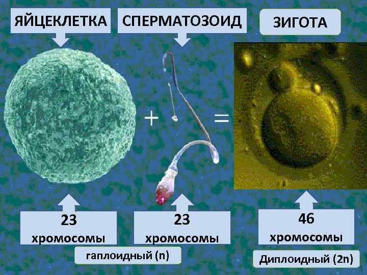 ЯЙЦЕКЛЕТКА СПЕРМАТОЗОИД 23 23 хромосомы гаплоидный (n) ЗИГОТА 46 хромосомы Диплоидный (2 n)