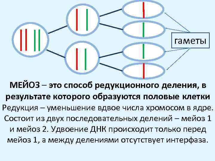 гаметы МЕЙОЗ – это способ редукционного деления, в результате которого образуются половые клетки Редукция