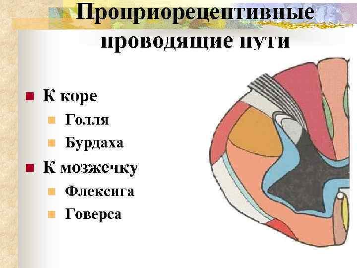 Проприорецептивные проводящие пути n К коре n n n Голля Бурдаха К мозжечку n