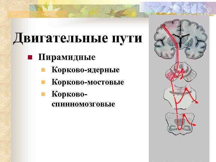 Двигательные пути n Пирамидные n n n Корково-ядерные Корково-мостовые Корковоспинномозговые