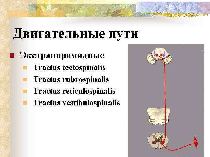 Двигательные пути n Экстрапирамидные n n Tractus tectospinalis Tractus rubrospinalis Tractus reticulospinalis Tractus vestibulospinalis
