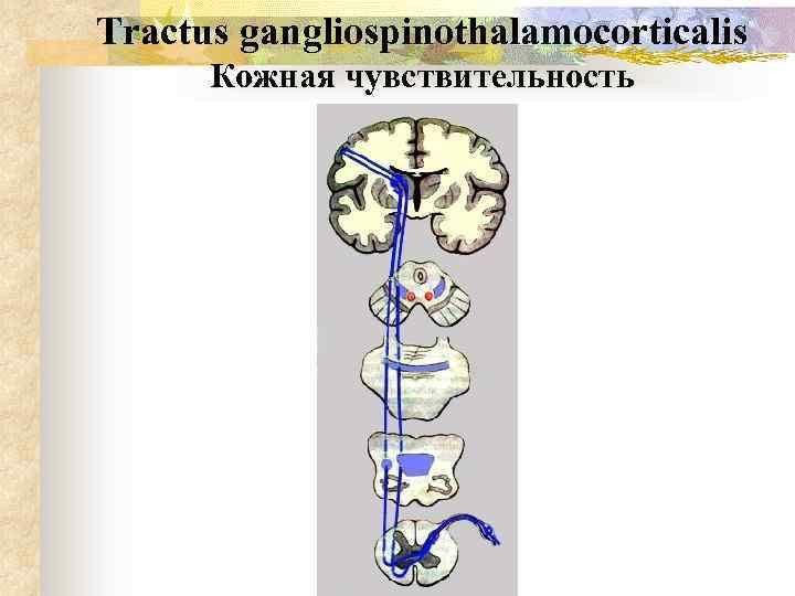 Tractus gangliospinothalamocorticalis Кожная чувствительность