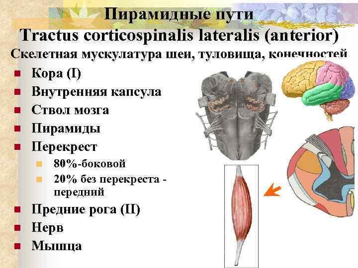 Пирамидные пути Tractus corticospinalis lateralis (anterior) Скелетная мускулатура шеи, туловища, конечностей n Кора (I)