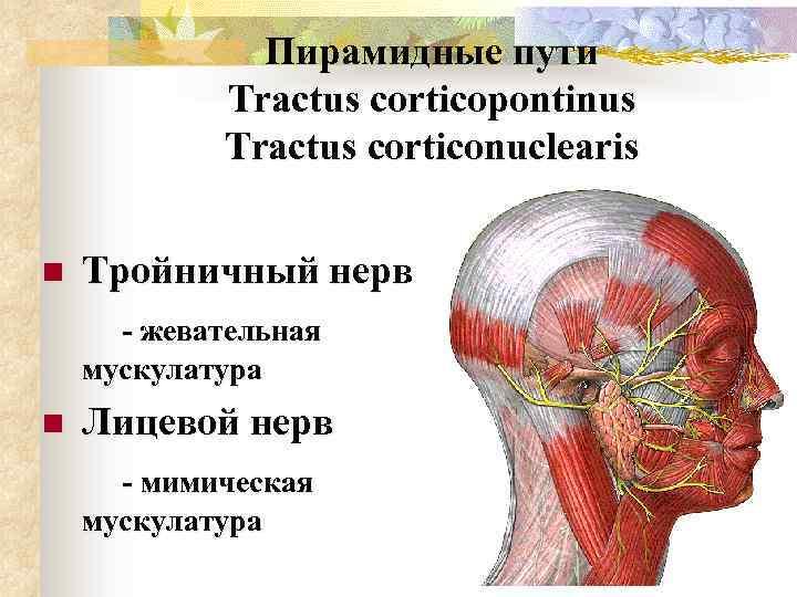 Пирамидные пути Tractus corticopontinus Tractus corticonuclearis n Тройничный нерв - жевательная мускулатура n Лицевой