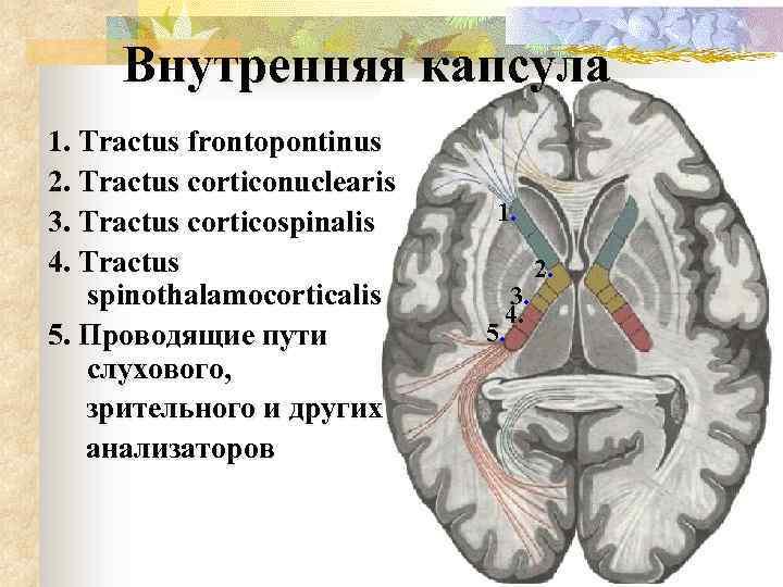 Внутренняя капсула 1. Tractus frontopontinus 2. Tractus corticonuclearis 3. Tractus corticospinalis 4. Tractus spinothalamocorticalis