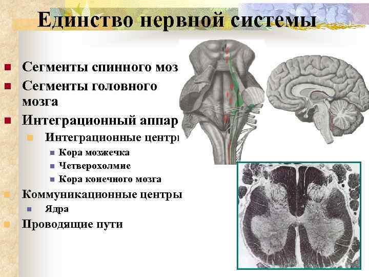 Единство нервной системы n n n Сегменты спинного мозга Сегменты головного мозга Интеграционный аппарат