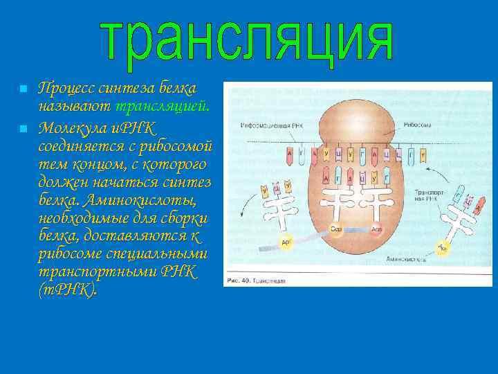 n n Процесс синтеза белка называют трансляцией. Молекула и. РНК соединяется с рибосомой тем