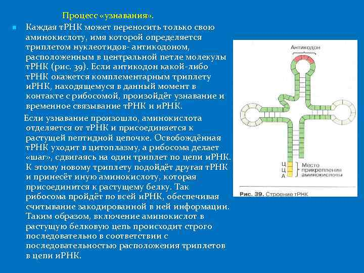 n Процесс «узнавания» . Каждая т. РНК может переносить только свою аминокислоту, имя которой