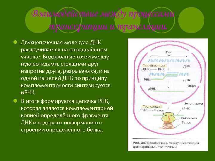Взаимодействие между процессами транскрипции и трансляции. l Двухцепочечная молекула ДНК раскручивается на определённом участке.