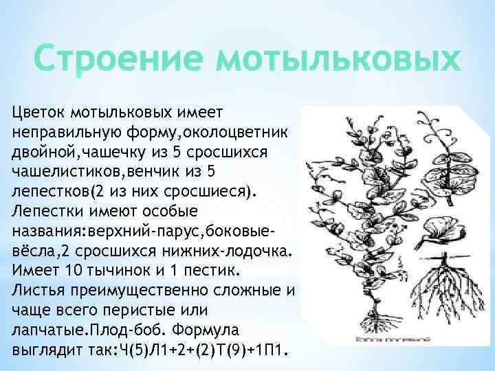 Строение мотыльковых Цветок мотыльковых имеет неправильную форму, околоцветник двойной, чашечку из 5 сросшихся чашелистиков,