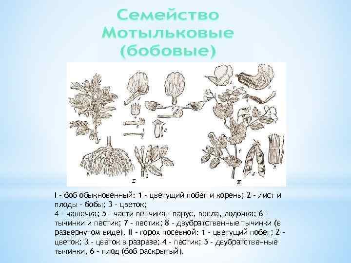 I – боб обыкновенный: 1 – цветущий побег и корень; 2 – лист и