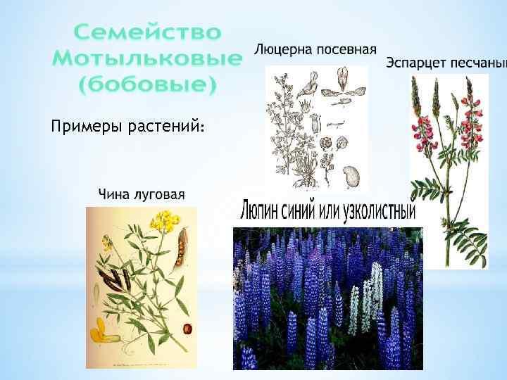 Примеры растений: