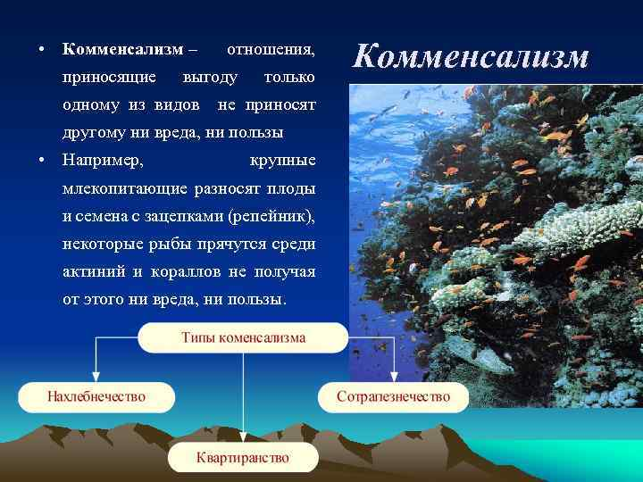 • Комменсализм – приносящие отношения, выгоду только одному из видов не приносят другому
