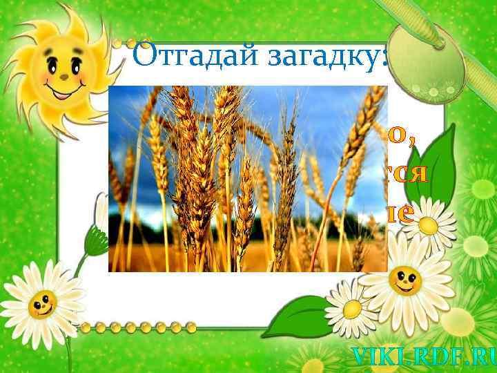 Отгадай загадку: Мы посеем зерно, Пусть заколосится На широком поле Спелая ….