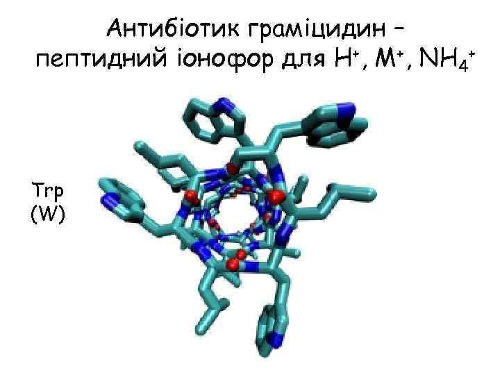 Антибіотик граміцидин – пептидний іонофор для H+, M+, NH 4+ Trp (W)