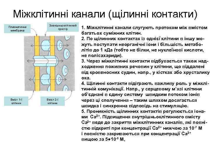 Міжклітинні канали (щілинні контакти) Плазматична мембрана Вміст 1 -ї клітини Зовнішньоклітинний простір Вміст 2