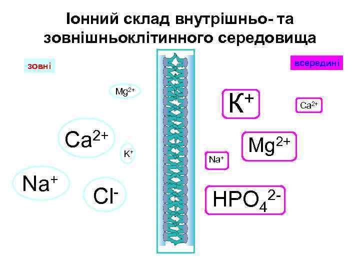 Іонний склад внутрішньо- та зовнішньоклітинного середовища всередині зовні Mg 2+ Са 2+ Na+ Cl-