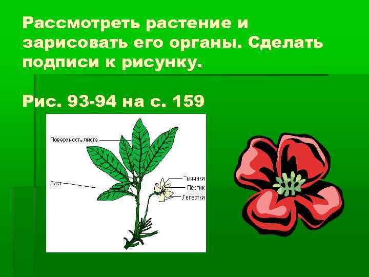 Рассмотреть растение и зарисовать его органы. Сделать подписи к рисунку. Рис. 93 -94 на