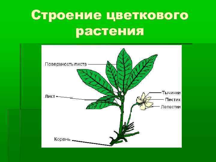 Строение цветкового растения Корень