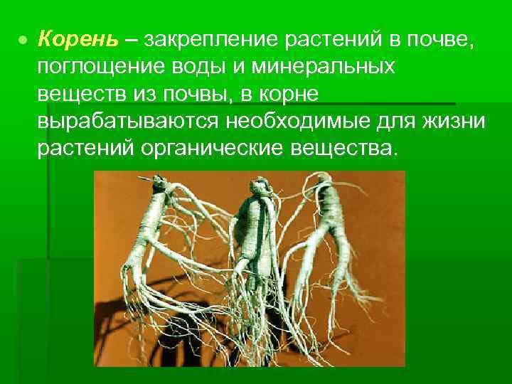Корень – закрепление растений в почве, поглощение воды и минеральных веществ из почвы,