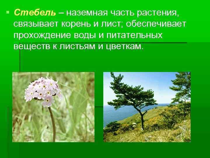 Стебель – наземная часть растения, связывает корень и лист; обеспечивает прохождение воды и
