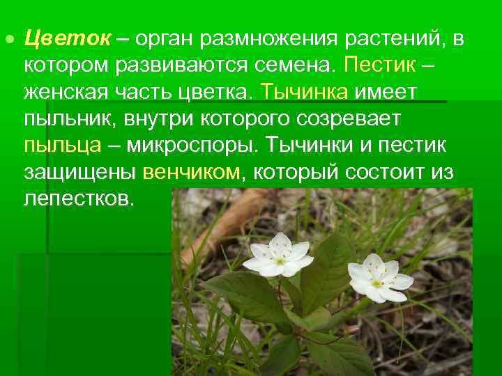 Цветок – орган размножения растений, в котором развиваются семена. Пестик – женская часть