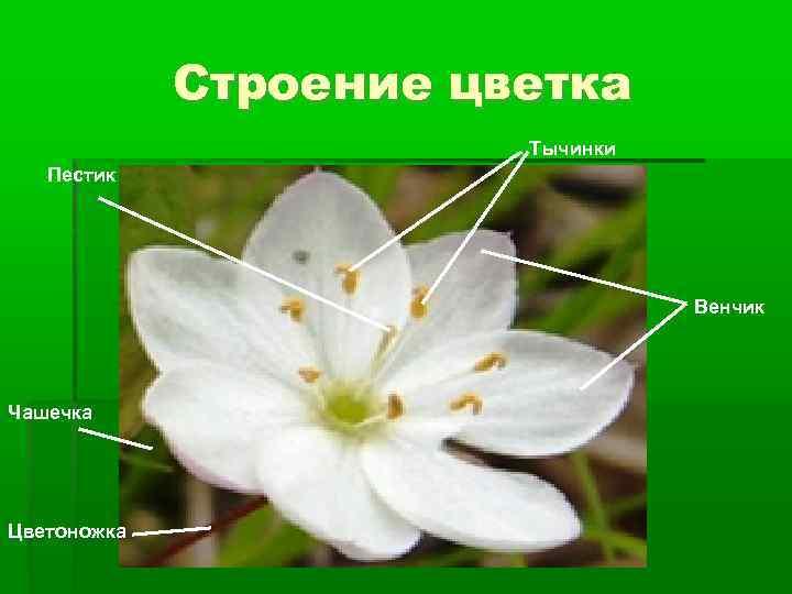 Строение цветка Тычинки Пестик Венчик Чашечка Цветоножка
