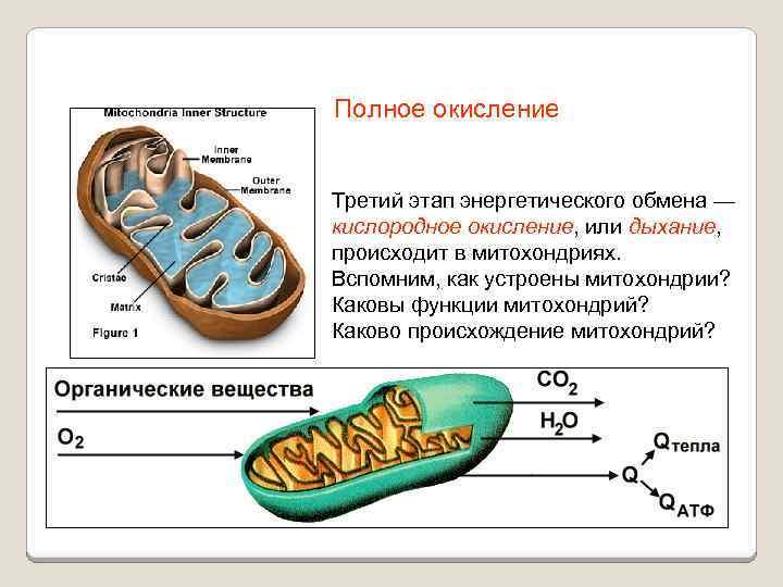 Полное окисление Третий этап энергетического обмена — кислородное окисление, или дыхание, происходит в митохондриях.