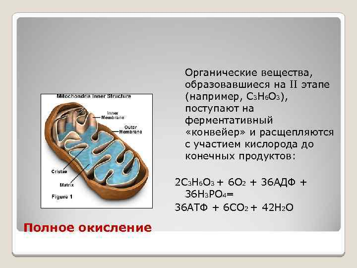 Органические вещества, образовавшиеся на II этапе (например, С 3 Н 6 О 3), поступают