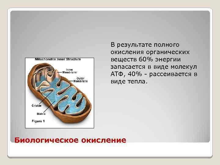 В результате полного окисления органических веществ 60% энергии запасается в виде молекул АТФ, 40%