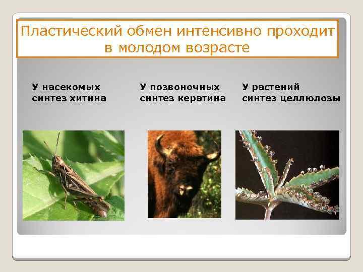 Пластический обмен интенсивно проходит в молодом возрасте У насекомых синтез хитина У позвоночных синтез