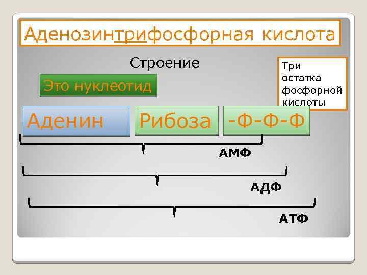 Аденозинтрифосфорная кислота Строение Три остатка фосфорной кислоты Это нуклеотид Аденин Рибоза -Ф-Ф-Ф АМФ АДФ