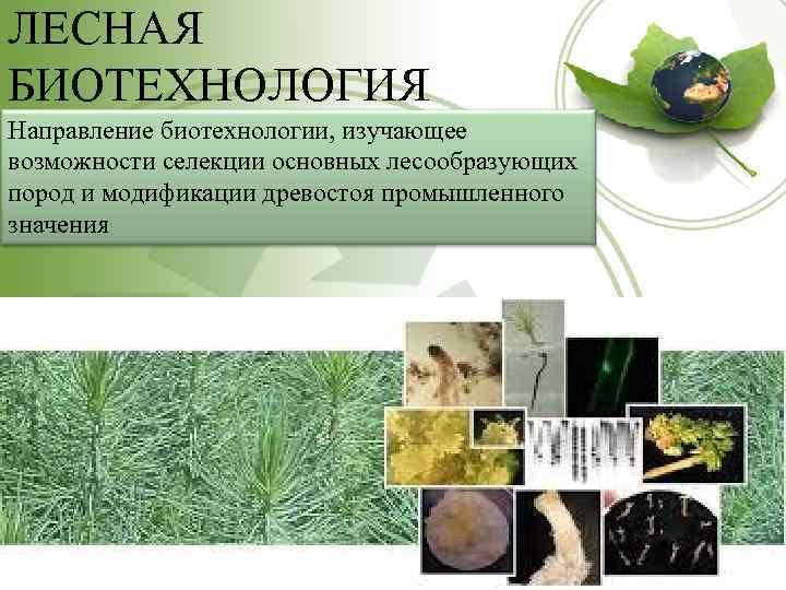 ЛЕСНАЯ БИОТЕХНОЛОГИЯ Направление биотехнологии, изучающее возможности селекции основных лесообразующих пород и модификации древостоя промышленного