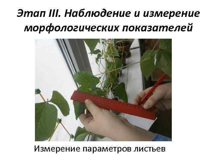 Этап III. Наблюдение и измерение морфологических показателей Измерение параметров листьев