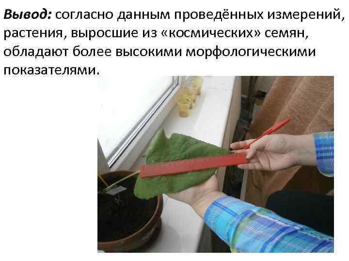 Вывод: согласно данным проведённых измерений, растения, выросшие из «космических» семян, обладают более высокими морфологическими