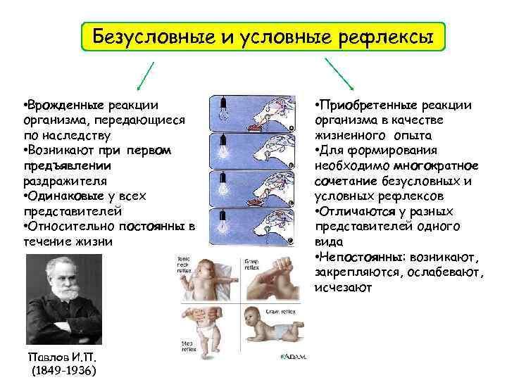 Безусловные и условные рефлексы • Врожденные реакции организма, передающиеся по наследству • Возникают при