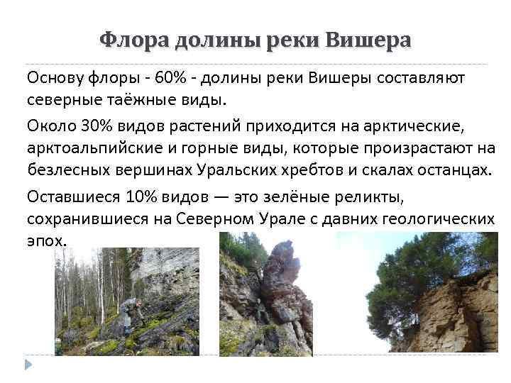 Флора долины реки Вишера Основу флоры - 60% - долины реки Вишеры составляют северные