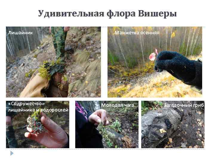 Удивительная флора Вишеры Лишайник «Содружество» лишайника и водорослей Манжетка осенняя Молодая чага Загадочный гриб