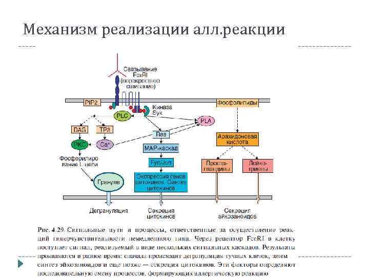 Механизм реализации алл. реакции