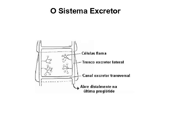 O Sistema Excretor