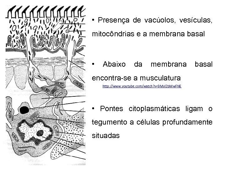 • Presença de vacúolos, vesículas, mitocôndrias e a membrana basal • Abaixo da