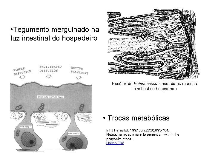 • Tegumento mergulhado na luz intestinal do hospedeiro Escólex de Echinococcus inserido na