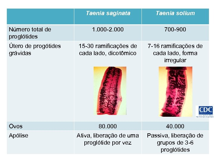 Taenia saginata Número total de proglótides Útero de progótides grávidas Ovos Apólise Taenia solium