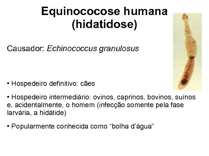 Equinococose humana (hidatidose) Causador: Echinococcus granulosus • Hospedeiro definitivo: cães • Hospedeiro intermediário: ovinos,