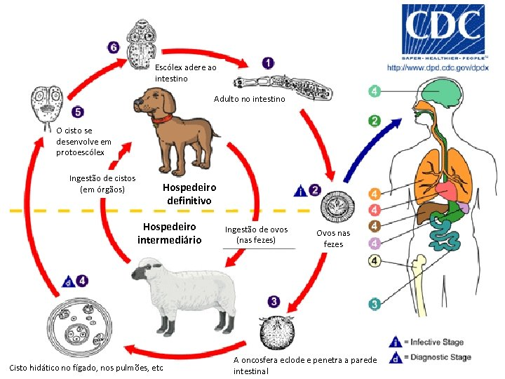 Escólex adere ao intestino Adulto no intestino O cisto se desenvolve em protoescólex Ingestão