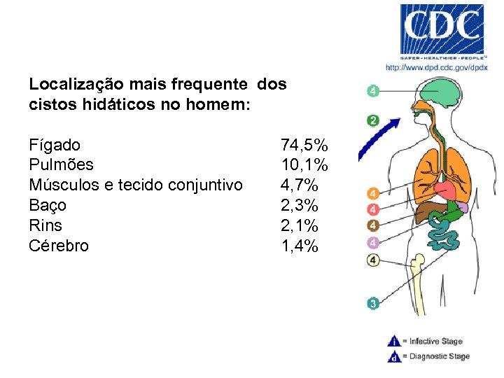 Localização mais frequente dos cistos hidáticos no homem: Fígado Pulmões Músculos e tecido conjuntivo